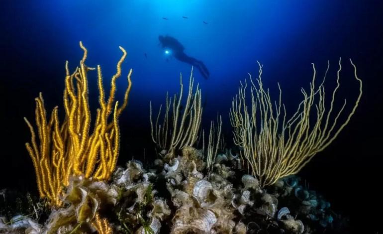2 miejsce w kategorii Kompakt szeroki kąt Żółte i białe gorgonie u wybrzeży Włoch fot Andrea Falcomata Ocean Art