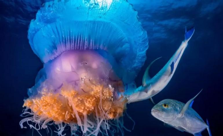Wyróżnienie w kategorii zachowania Korona jellyfish atakowana przez Kingfish fot Pier Mane Ocean
