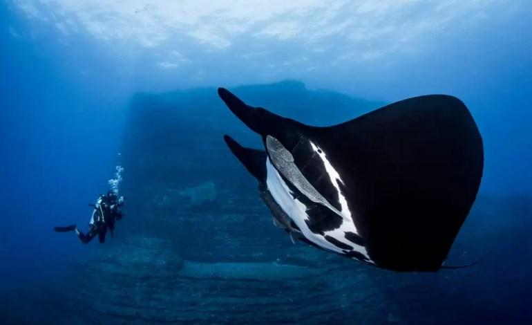 Zwycięzca w kategorii początkujących DSLR. Gigantyczna manta twarzą w twarz z nurkiem w Socorro w Meksyku fot Alvin Cheung Ocean Art