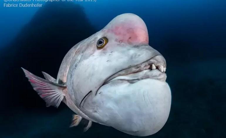 """Kategoria portret:  miejsce trzecie: """"Transgender Kobudai fish"""" Fabrice Dudenhofer (Francja)"""