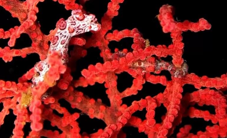 Pygmy seahorse Lembeh 2013 Jlarouche/ wiki