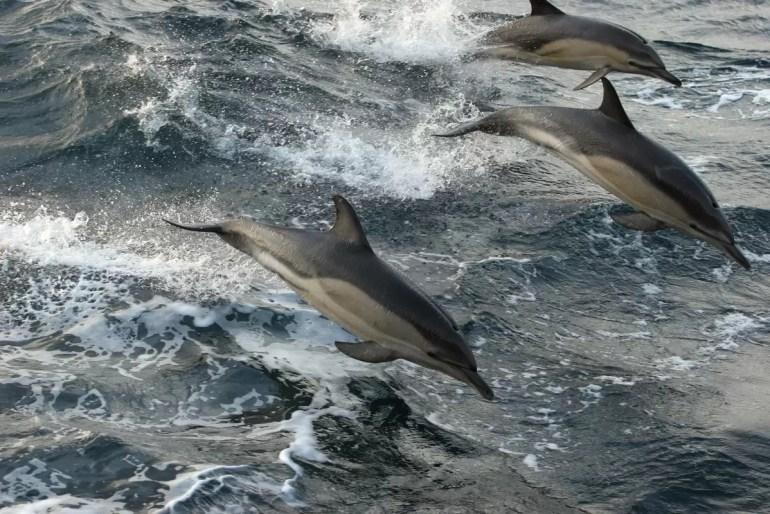 Delfiny w kanale La Manche © Kate Davison / Greenpeace