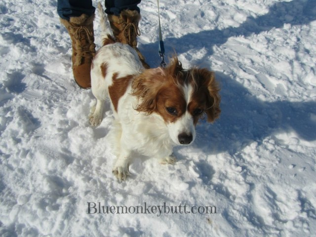 Penny the Wonder Dog at the park playing in the snow