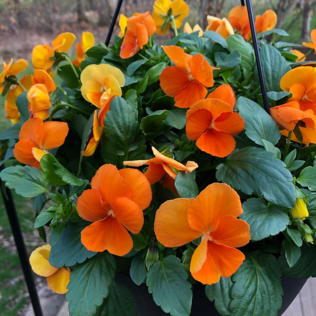 orange violas hanging pot