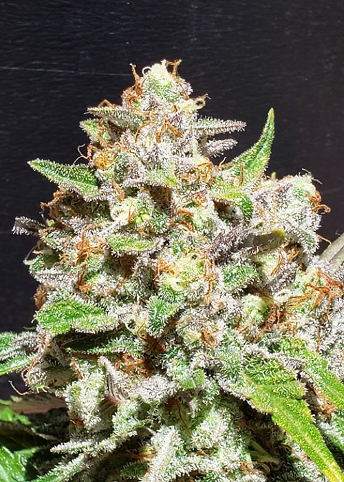 1 seed Fruity Face Punch #2