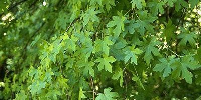 Sığla ağacı – sweetgum - Liquidambar orientalis