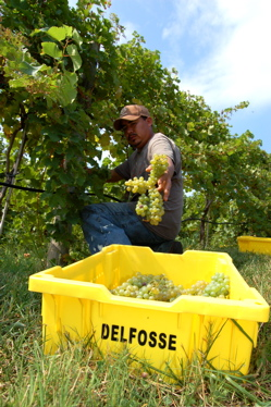 Grape Harvest @ Delfosse