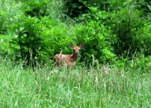Fawn In The Field : By Heidi Crandall : Roseland, Virginia
