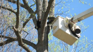 Central Virginia Electric workers, Aubrey Hughes and Jody Ross manuver the bucket over to rescue one of the four bear cubs.
