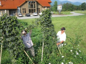 Cascade hops are a cross between Fuggles with a Ruskie hop variety.