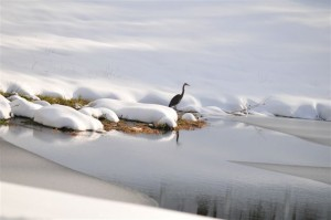 By Heidi Crandall : Blue Heron on the snow at Horsehoe Mountain, VA