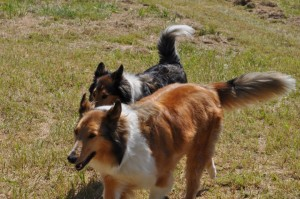 Photo Courtesy of: Victoria Gomez Mininger : Our Collie - Casey - who has been missing since Wednesday (6-26-10) from our home in Shipman. If anyone has seen her or has any information we would be grateful for a call - 540-649-0689 or 540-448-2230 - (she is the collie at the front of the picture)