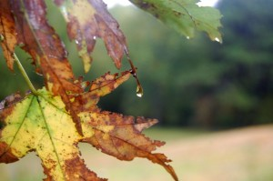 ©2010 www.nelsolncountylife.com : Water drops off of this maple leaf in Greenfield after a nice soaking rain for the past couple of days.
