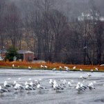 Seagulls In Lovingston. Yep, You Heard Us Right!