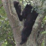 Up A Tree In Shipman!