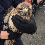 Nelson : VSP Troopers Rescue Injured Hawk After Being Struck By Car