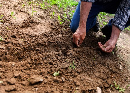 a man hand planting seeds in healthy soil