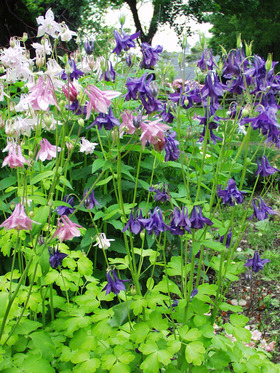 COLUMBINE. Dwarf robust plants in all the colors