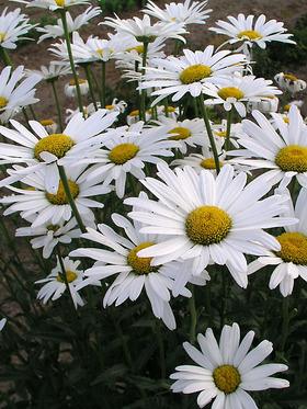 Single white Shasta Daisy