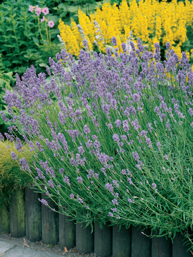 Fragrant purple blue border plants