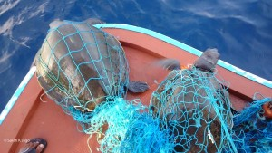 Fishing Net Olive Ridley Turtles