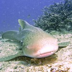 Leopard Shark sleep near staghorn coral koh phi phi thailand