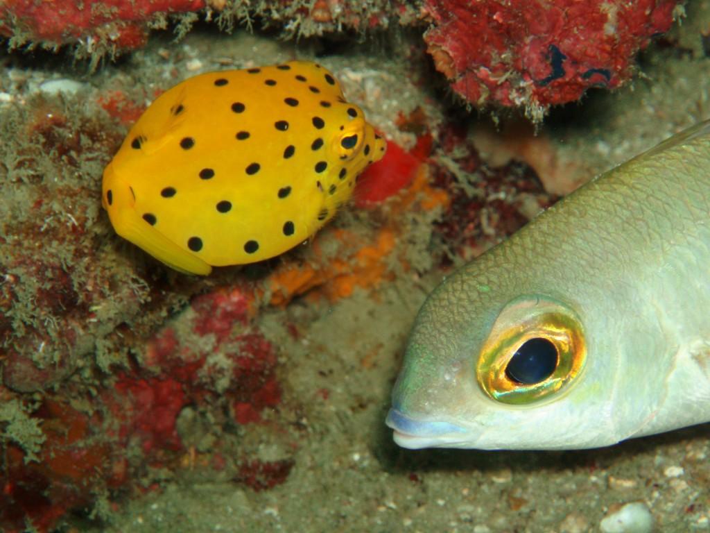 Yellow Boxfish diving phi phi thailand
