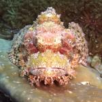 scorpion fish Koh Phi Phi Thailand