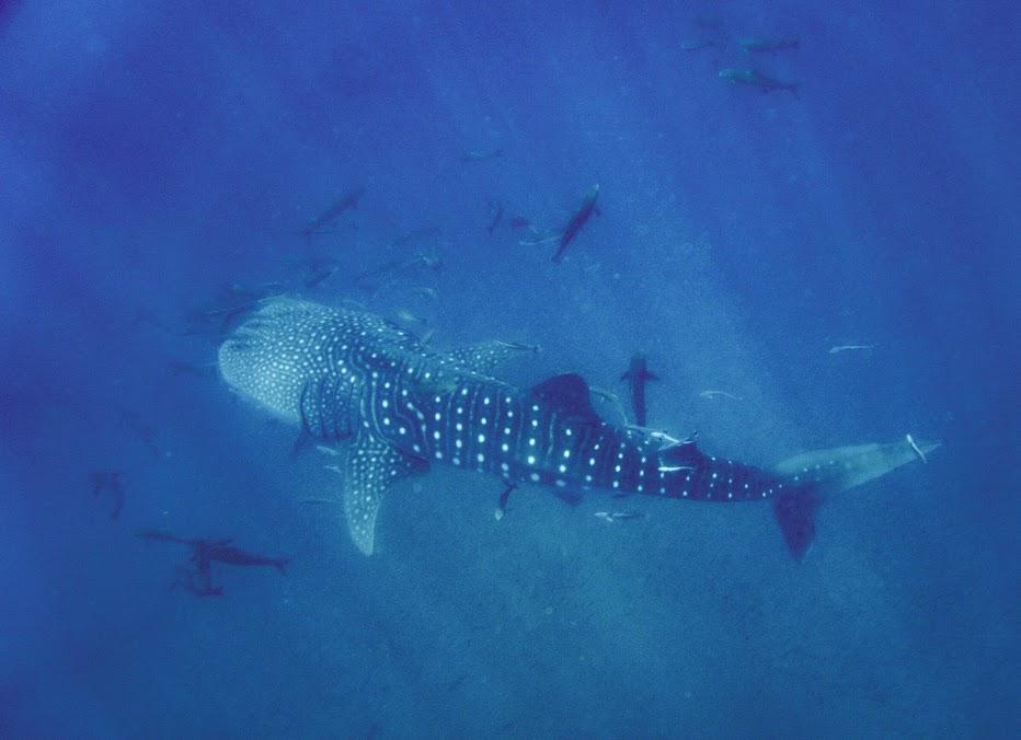 whaleshark koh phi phi garang heng