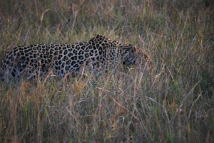 A Leopard's prowl.