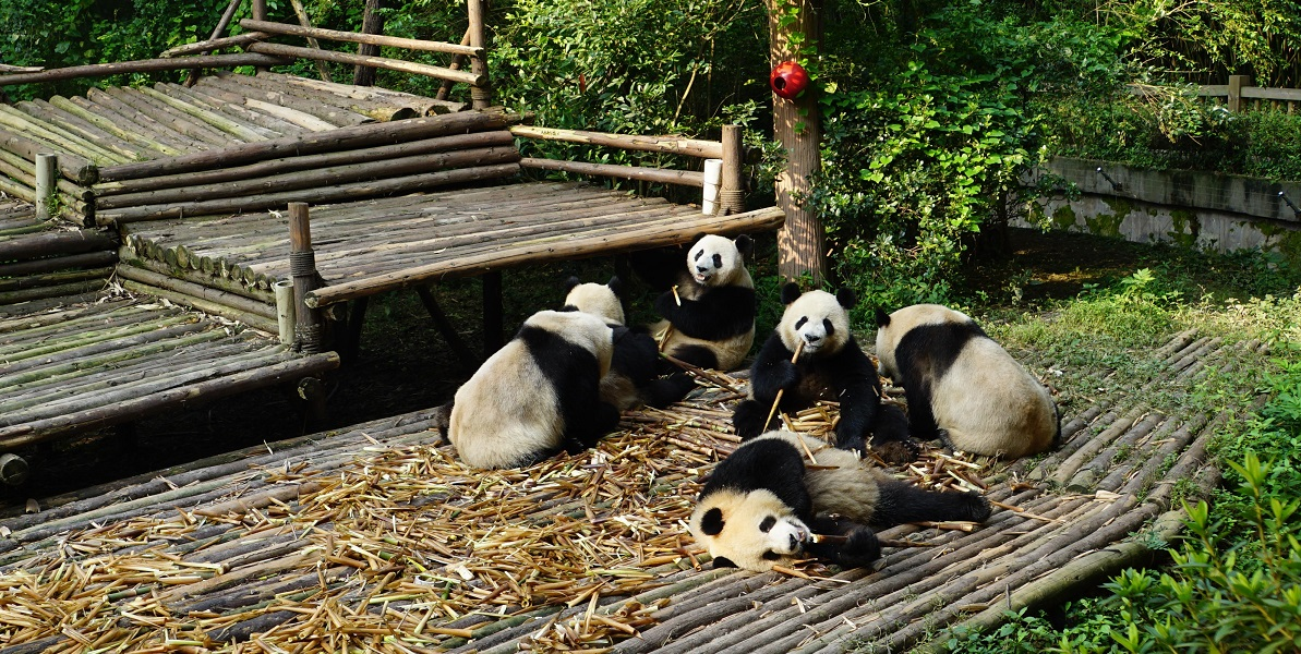 Pandas play at breakfast time