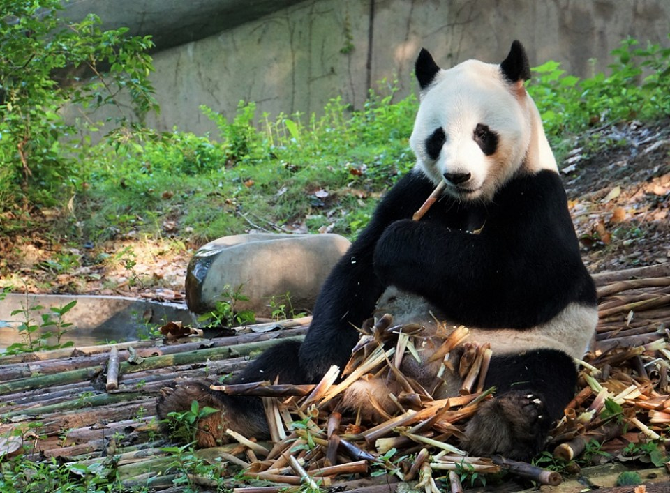 Giant panda eating bamboo shoots