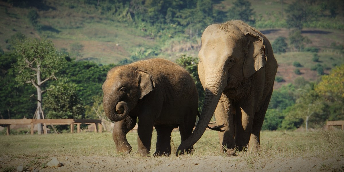 Elephants strolling at the Elephant Nature Park