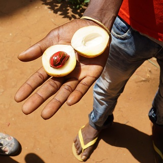 Nutmeg seed covered in red mace