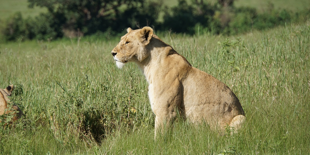 A lioness watches prey in the distance
