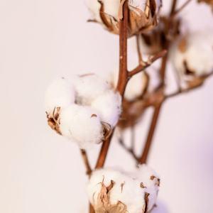 Baumwolle getrocknet