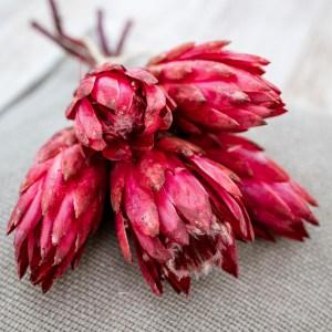 protea kirschrot