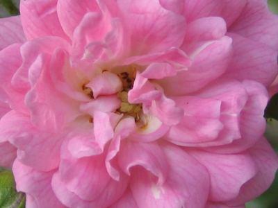 blume_rosa Blumen Hoenekop Herbern