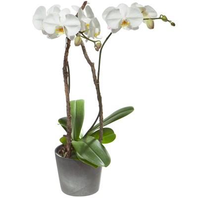 Orchidee weiss - Blumen Bergmann
