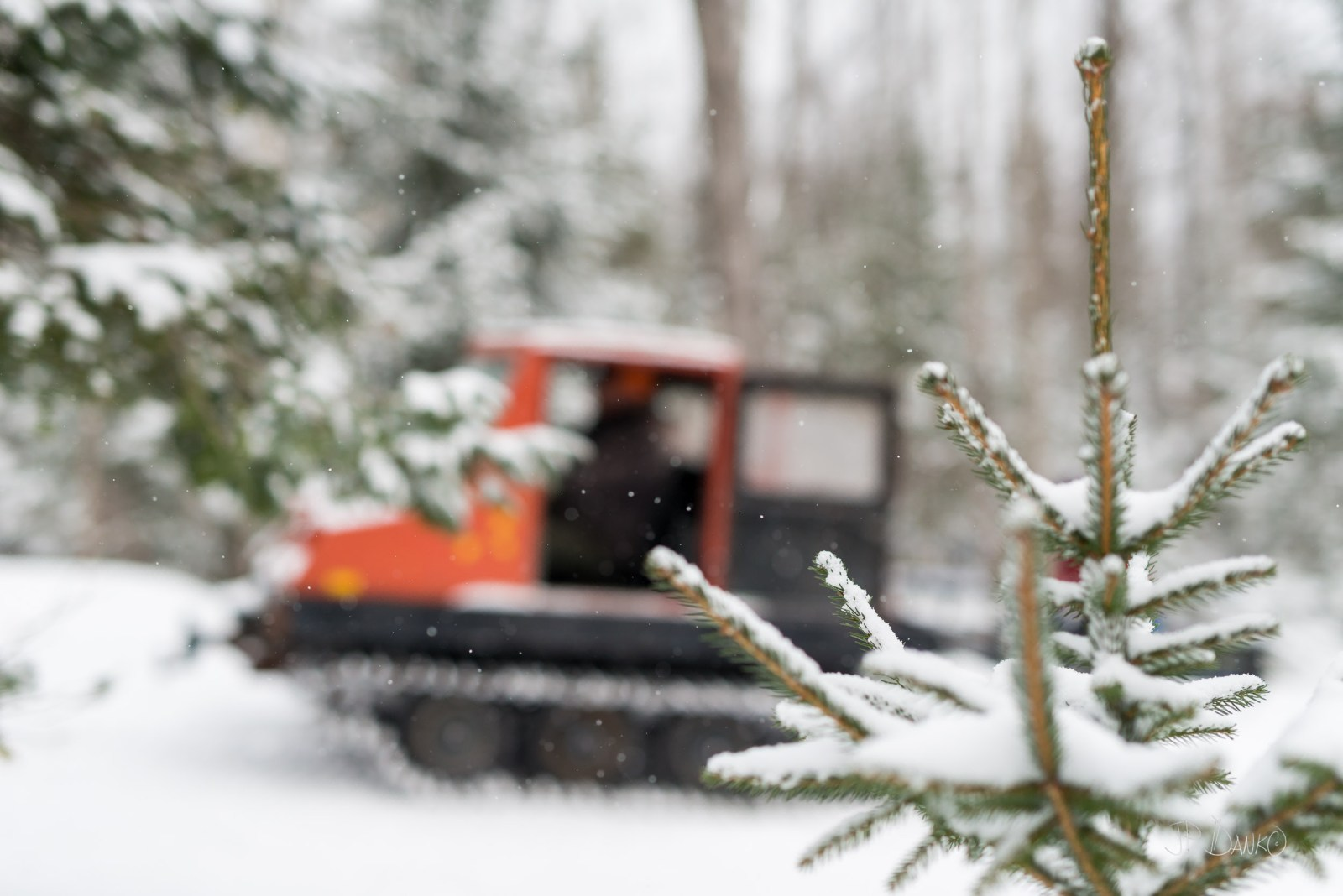 Snow-covered small pine tree seen up close as orange vintage snow groomer machine moves in the background