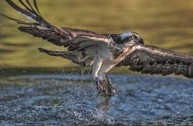 Ian-Smith-Osprey