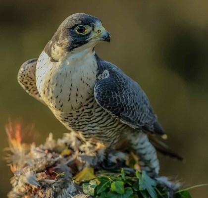 Ian-Smith-Peregrine-Falcon-with-red-leg