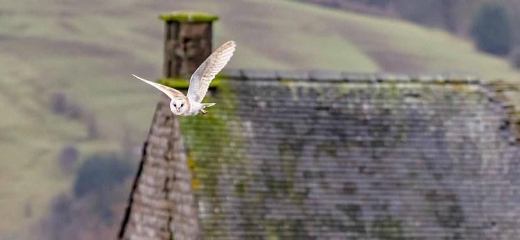 Stephen-S-Barn-Owl