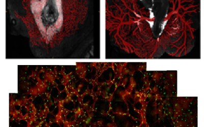 Gleghorn & Ogunnaike team study blood vessel formation
