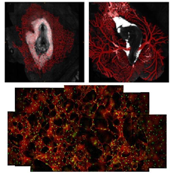 Gleghorn & Ogunnaike team study blood vessel formation