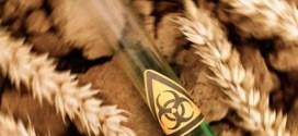 blé moderne toxique gluten