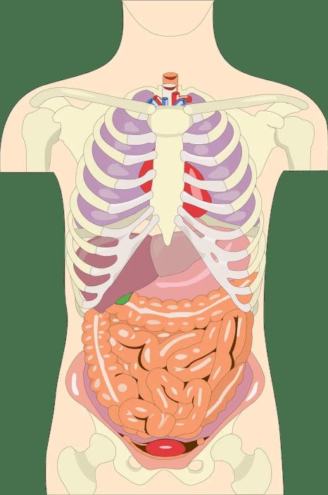 Perméabilité intestinale et hyperperméabilité intestinale 1