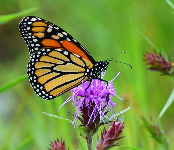 Monarch Butterfly on Milk Thistle