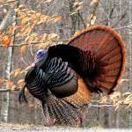 Strutting Tom the Turkey
