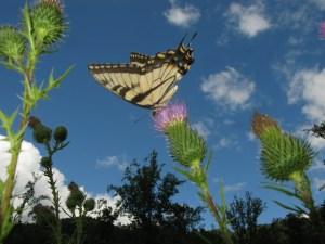 Eastern Tiger Swallowtail (Papilio Glaucus) on Milk Thistle (Silybum Marianum)